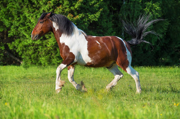 Paint horse runs gallop on freedom