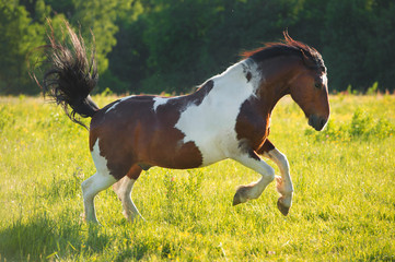 Paint horse playing on freedom