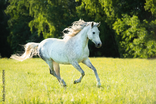 Fototapeta White Arabian horse runs gallop in the sunset light