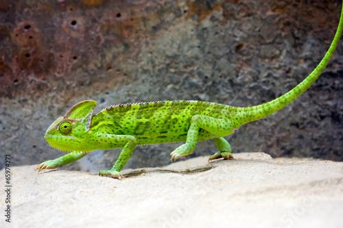 Foto op Plexiglas Kameleon Veiled Chameleon (Chamaeleo calyptratus)