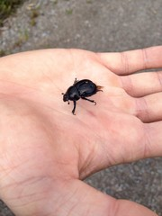 Little Beetle