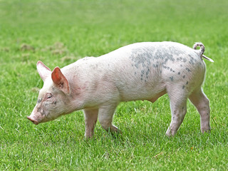 Domestic ecological pig (sus domesticus)