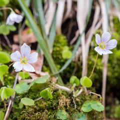 Nahaufnahme der Sauerkleeblüte im Ostallgäu