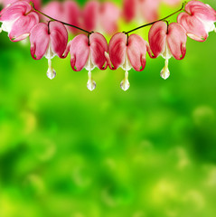 pink bleeding heart flower