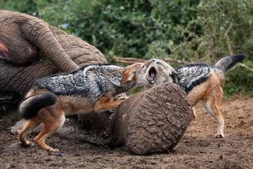 Jackal Fight