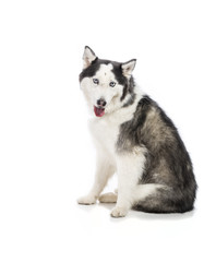 Seated Alaskan Malamute or Husky Dog Isolated on White