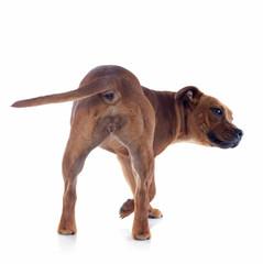 back staffordshire bull terrier