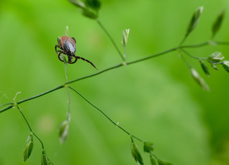 interested tick, grass