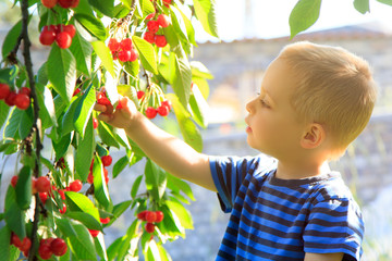 Young child picking up cherries from the tree.