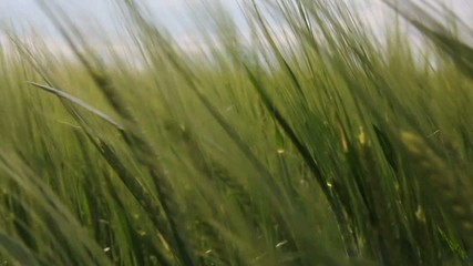ear of green wheat in the wind