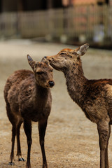 Couple deer  at Kasuga taisha shrine , Nara in Japan