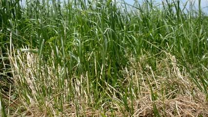 Grass on winf