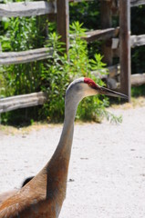 Sandhill Crane close up