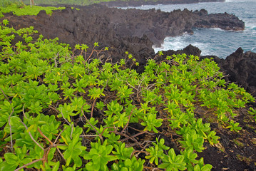 Naupaka growing on Waianapanapa Volcanic Beach, Maui, Hawaii