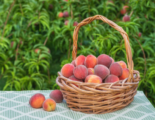 Freshly picked peaches in basket in garden