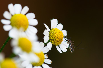 mosquito perched on chrysanthemum flower