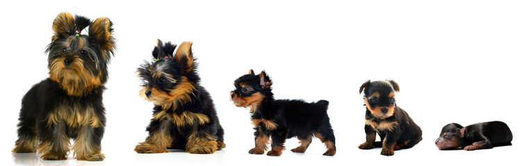 evolution a Yorkshire Terrier