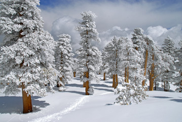 Winter Wonderland in a Pine Forest