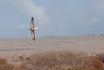 Waved Albatross and open sky, Galapagos Islands, Ecuador