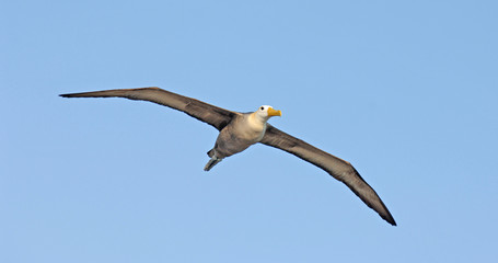 Waved Albatross flying, Galapagos Islands, Ecuador