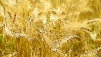 Wheat close-up.