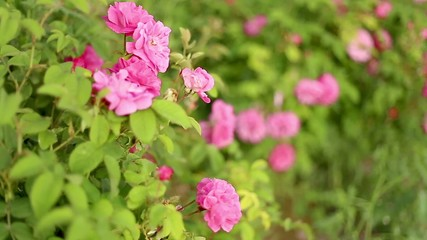 Fields of tearose.