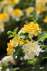 white and yellow lantana flower