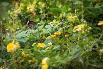 butterfly in the lantana  flower garden
