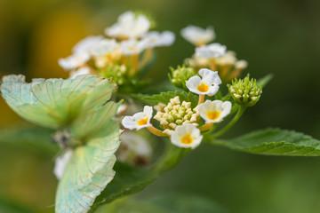 lantana camara  flower
