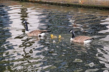 Canada geese and goslings © Arena Photo UK