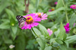 Butterfly feeding on zinnia flower