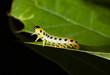 Caterpillar on oak leaf
