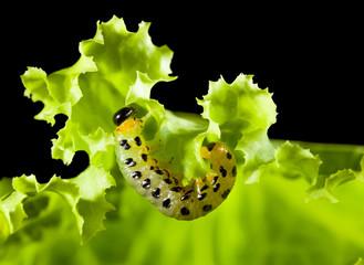 Caterpillar under lettuce leaf