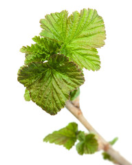 Blackcurrant fresh spring foliage