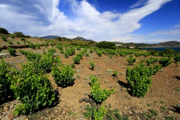 Vignoble et terroir de Collioure et Banyuls