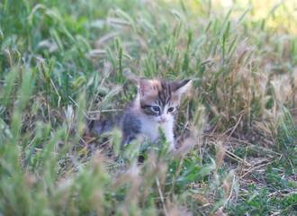 sad little tabby kitten in the grass
