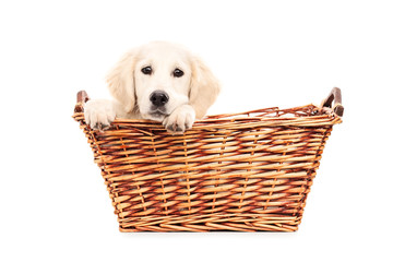 Cute puppy peeking from a basket