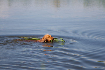 american cocker spaniel swimming in water