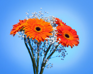 Bouquet of gerbera on blue.
