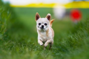 Running chihuahua