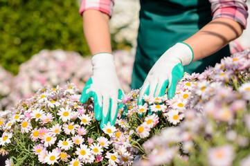 Hands in gardening gloves touch daisy flowerbed