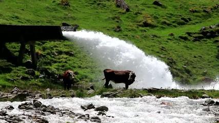 Vache cherchant de la fraicheur
