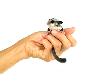 Flying squirrel, Sugarglider isolated on white
