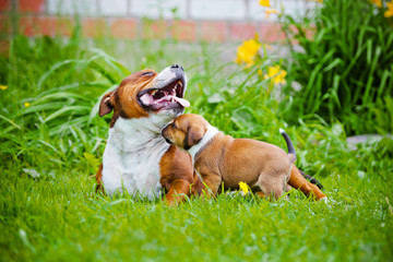 staffordshire bull terrier dog and puppy