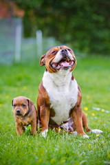 staffordshire bull terrier and puppy