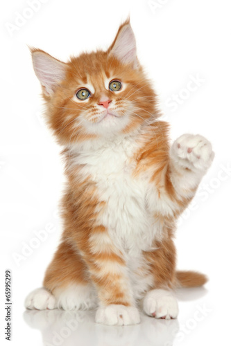 Papiers peints Lynx Maine Coon kitten