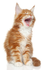 Maine Coon kitten yawn
