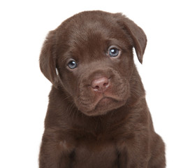 Labrador retriever puppy, portrait