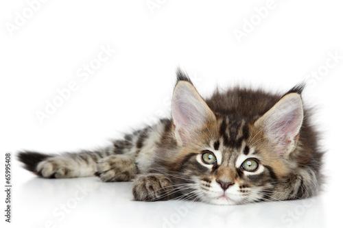 Canvas Lynx Maine Coon kitten