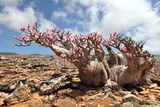 Bottle tree in bloom - adenium obesum